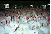 Factory Farmed Turkey