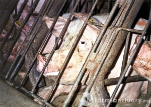 pig in a gestation crate