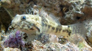Frillfin Goby