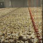 Image of a poultry farm via Sentient Media