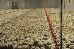 Image of a poultry farm via Sentient Media